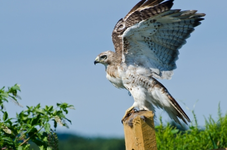 Red-Tailed Hawk Taking to Flight photo