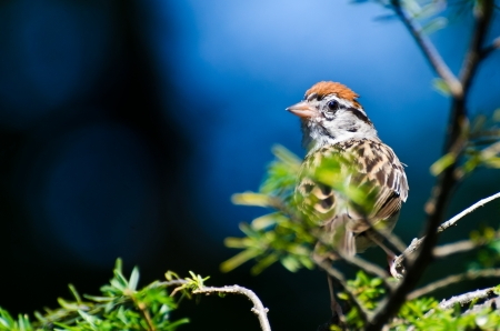chipping: Chipping Sparrow Pereched in an Evergreen