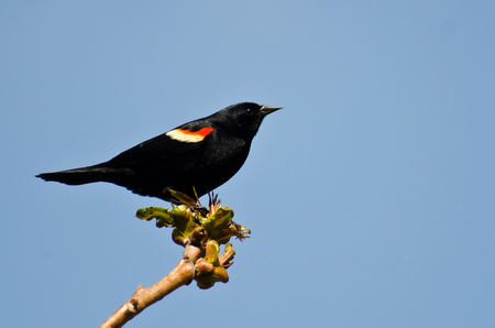 red winged: Red-Winged Blackbird Perched in a Tree