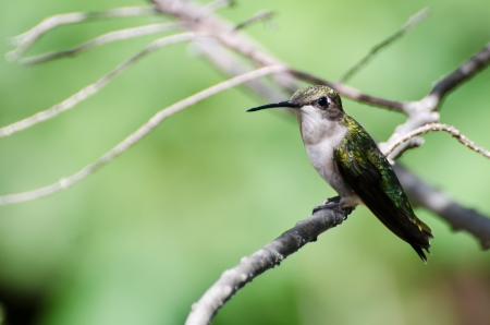 Ruby Throated Hummingbird Perched in a Tree photo