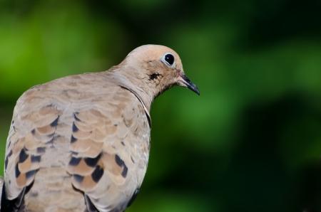 quizzical: Una paloma de luto Quizzical encaramado en un �rbol