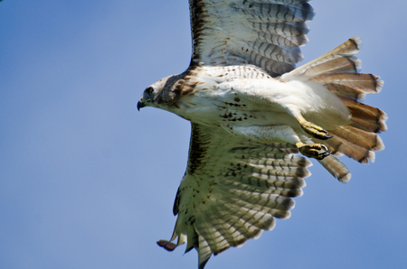 belly band: Red-Tailed Hawk Flying in a Blue Sky