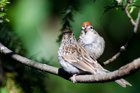 chipping: Parent and Young Chipping Sparrow