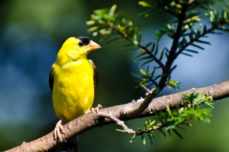 Male American Goldfinch Perched in a Tree Banco de Imagens