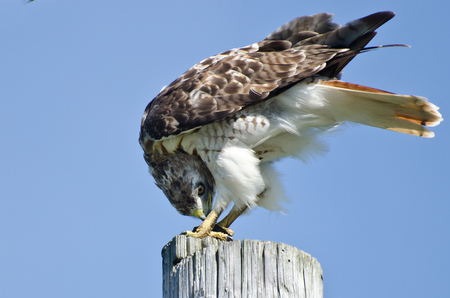 bird eating raptors: Red-Tailed Hawk Eating a Turtle