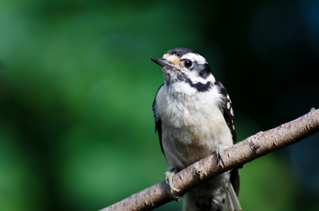 downy woodpecker: Downy Woodpecker Against a Green