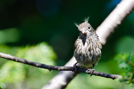 bad hair day: House Finch Having a Bad Hair Day
