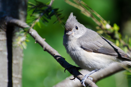 Young Tufted Titmouse Perched on a Branch photo