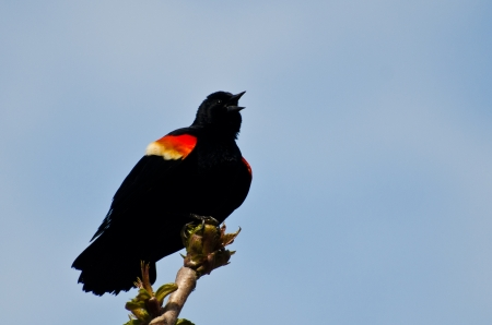 red winged: Red-Winged Blackbird Calling With a Trill