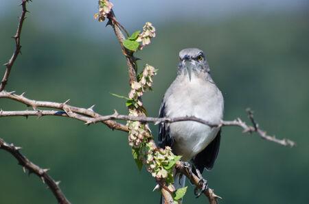 ruiseñor: Angry Northern Mockingbird encaramado en un árbol