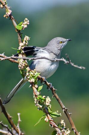 ruiseñor: Northern Mockingbird encaramado en un árbol Foto de archivo