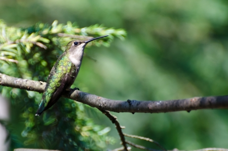 ruby throated: Ruby Throated Hummingbird Perched in a Tree