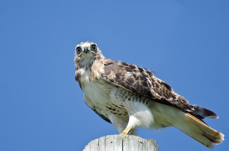 belly band: Red-Tailed Hawk Perched on a Pole