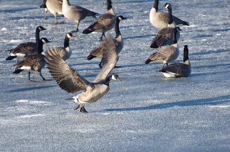 Canada Goose Taking Off From Frozen Lake Stock fotó