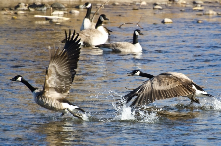 Canada Geese Taking to Flight from the Water Reklamní fotografie - 25079238