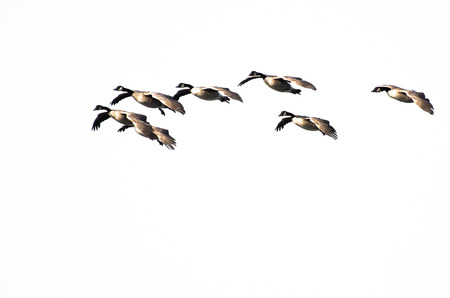 Flock of Canada Geese Flying Against a White Background