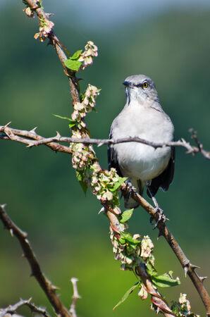 mockingbird: Northern Mockingbird Perched in a Tree