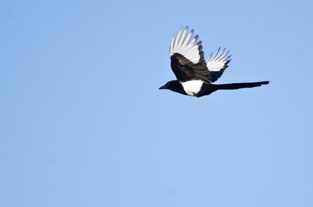 Black-Billed Magpie Flying in a Blue Sky Reklamní fotografie