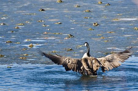 shit: Canada Goose Encountering Nasty Ice Flow