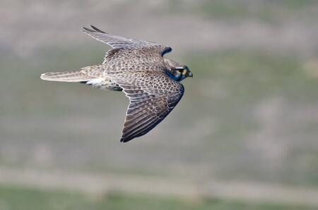 Profile of a Peregrine Falcon In Flight