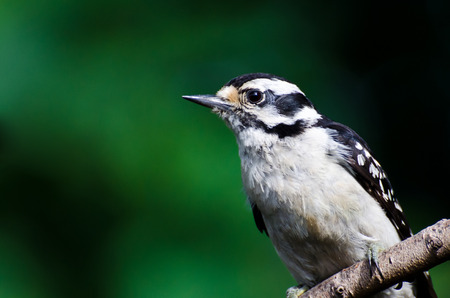 downy woodpecker: Downy Woodpecker Against a Green Background Stock Photo