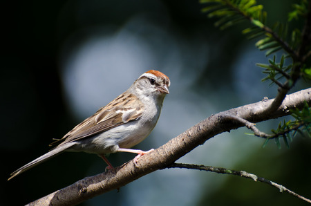chipping: Chipping Sparrow Perched on a Branch