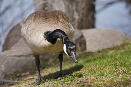 canada goose: Canada Goose Enjoying a Meal Stock Photo