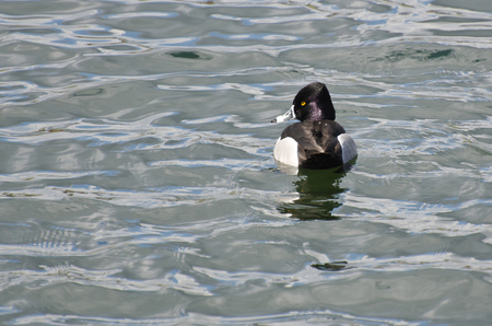 white necked: Maschio anello-con collo anatra nuoto in un lago