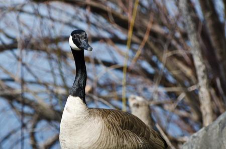 quizzical: Quizzical Looking Canada Goose