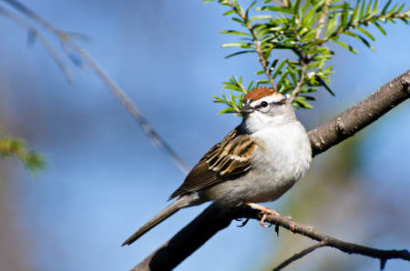 chipping: Chipping Sparrow Perched in a Tree Stock Photo