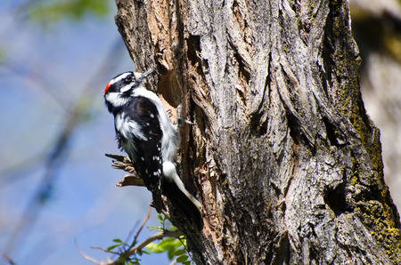 downy woodpecker: Downy Woodpecker Building Its Home