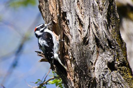 downy woodpecker: Downy Woodpecker Building Its Home