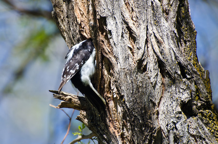 downy woodpecker: Downy Woodpecker Entering Its Home
