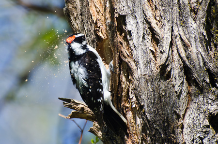 downy: Downy Woodpecker Hard At Work Building Its Home