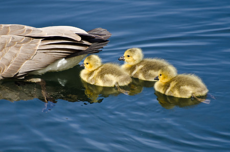 Goslings Staying Close to Mom