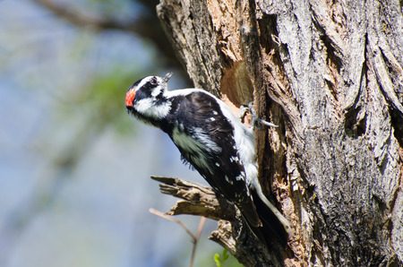 downy: Downy Woodpecker Building Its Home