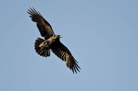 corvo imperiale: Common Raven Volare in Blue Sky Archivio Fotografico