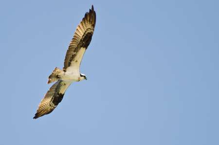 Osprey Hunting on the Wing in a Blue Sky photo