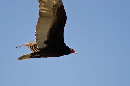 turkey vulture: Turkey Vulture Flying in a Blue Sky