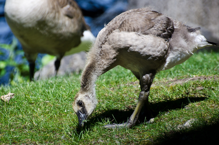 snacking: Gosling Snacking on Grass Stock Photo