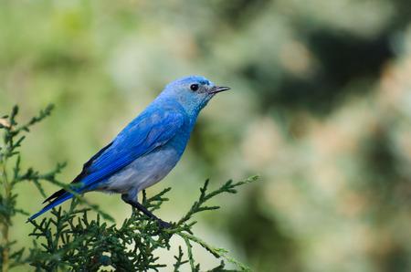 Mountain Bluebird Perched in a Tree Reklamní fotografie