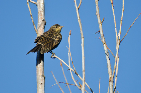 immature: Immature Red-Winged Blackbird Perched in a Tree
