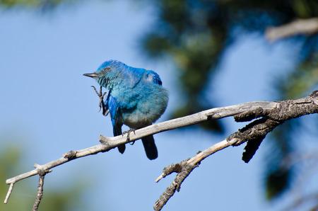 jeuken: Mountain Bluebird een jeuk krabben