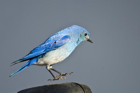 Male Mountain Bluebird Suspended in Midair Banco de Imagens