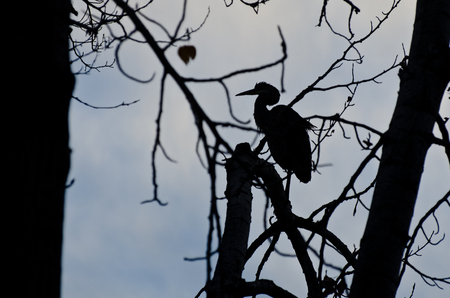 Silhouette of Great Blue Heron Perched in a Tree photo