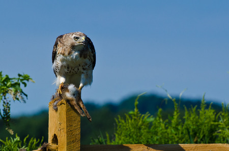 belly band: Red-Tailed Hawk With Captured Prey Stock Photo