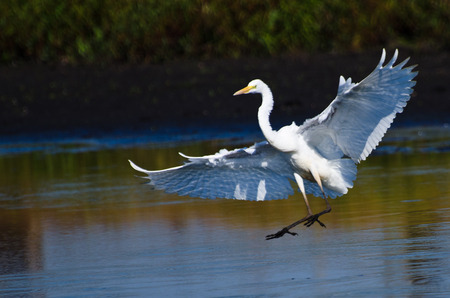 egrets: Great Egrets Landing in Shallow Water