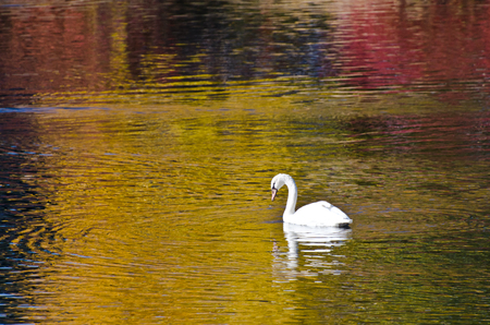 wade: White Swan Swimming in a Golden Pond