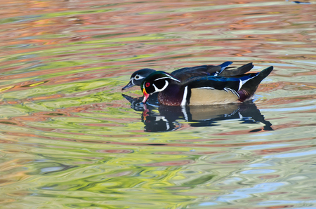 Wood Ducks Swimming in the Reflection of Autumn Colors photo