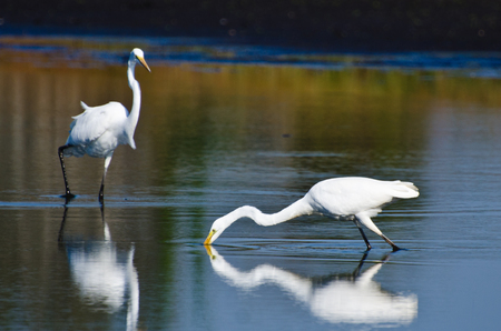 egrets: Great Egrets Hunting for Fish in Autumn